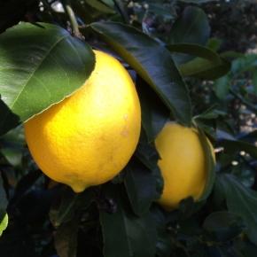 Lemon Honey Butter